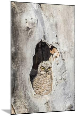 Wyoming, Lincoln Co, Great Horned Owl Nestling Peering from Nest-Elizabeth Boehm-Mounted Photographic Print