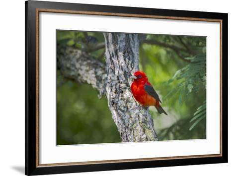 Scarlet Tanager (Piranga Ludoviciana) Male Perched-Larry Ditto-Framed Art Print