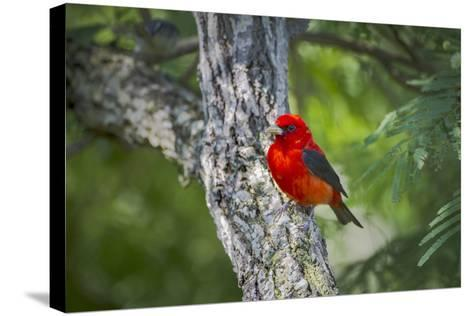 Scarlet Tanager (Piranga Ludoviciana) Male Perched-Larry Ditto-Stretched Canvas Print