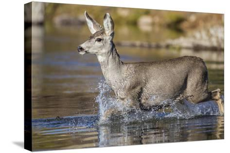USA, Wyoming, Sublette County, Mule Deer Buck Crossing River-Elizabeth Boehm-Stretched Canvas Print