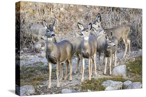 Wyoming, Sublette Co, Mule Deer Does and Fawns During Autumn Migration-Elizabeth Boehm-Stretched Canvas Print