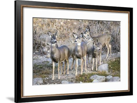 Wyoming, Sublette Co, Mule Deer Does and Fawns During Autumn Migration-Elizabeth Boehm-Framed Art Print