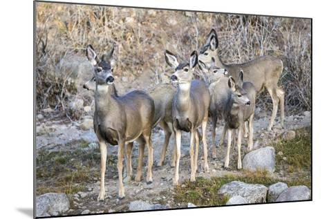 Wyoming, Sublette Co, Mule Deer Does and Fawns During Autumn Migration-Elizabeth Boehm-Mounted Photographic Print