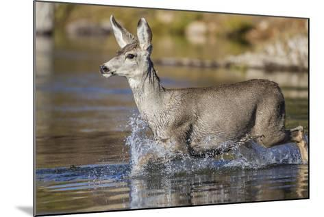 USA, Wyoming, Sublette County, Mule Deer Buck Crossing River-Elizabeth Boehm-Mounted Photographic Print