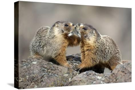 Yellow-Bellied Marmots Play Out a Mating Ritual in the High Desert-Richard Wright-Stretched Canvas Print