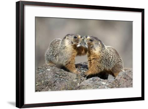 Yellow-Bellied Marmots Play Out a Mating Ritual in the High Desert-Richard Wright-Framed Art Print