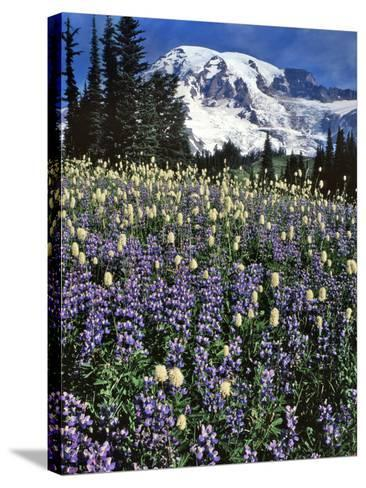 USA, Washington State, Paradise Park. Field of Lupine and Bistort-Steve Terrill-Stretched Canvas Print