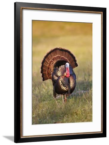 Wild Turkey (Meleagris Gallopavo) Males Strutting-Larry Ditto-Framed Art Print