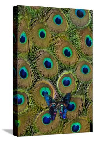 Meliboeus Swordtail Butterfly on Peacock Tail Feather Design-Darrell Gulin-Stretched Canvas Print