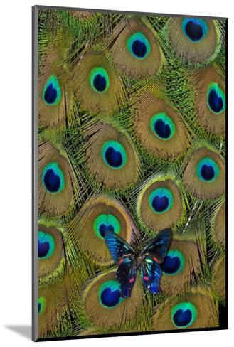 Meliboeus Swordtail Butterfly on Peacock Tail Feather Design-Darrell Gulin-Mounted Photographic Print