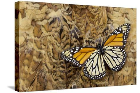 Underside Monarch Butterfly on Ring-Necked Pheasant Feather Design-Darrell Gulin-Stretched Canvas Print