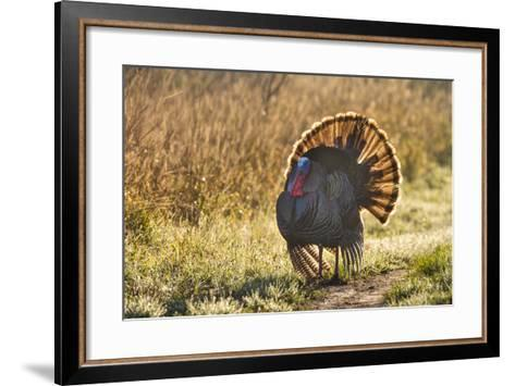 Wild Turkey (Meleagris Gallopavo) Males Strutting-Larry Ditto-Framed Art Print