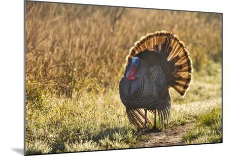 Wild Turkey (Meleagris Gallopavo) Males Strutting-Larry Ditto-Mounted Photographic Print