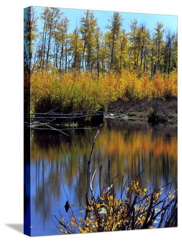Utah. USA. Willows and Aspens in Autumn at Beaver Pond in Logan Canyon-Scott T^ Smith-Stretched Canvas Print