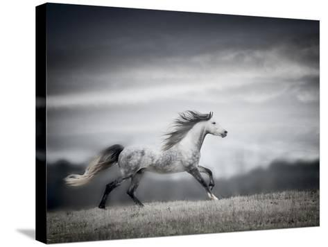 Wind Blown Mane II-PHBurchett-Stretched Canvas Print