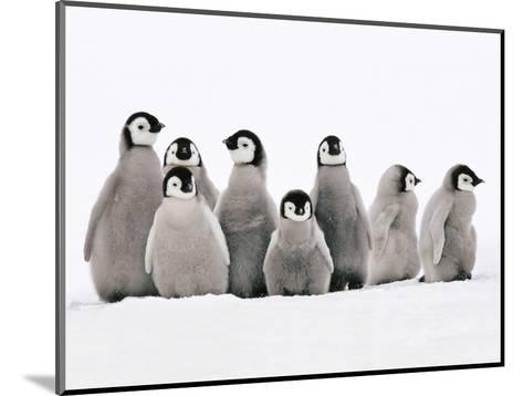 Emperor Penguin Chicks, Aptenodytes Forsteri, Weddell Sea, Antarctica-Frans Lanting-Mounted Photographic Print