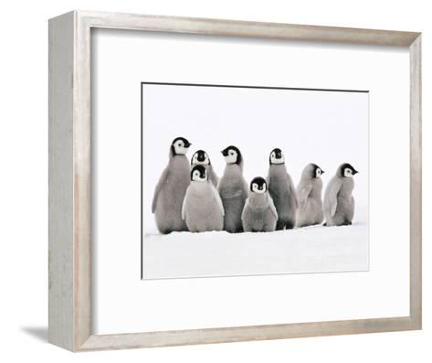 Emperor Penguin Chicks, Aptenodytes Forsteri, Weddell Sea, Antarctica-Frans Lanting-Framed Art Print