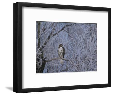 Red-Tailed Hawk in Frosted Tree, Buteo Jamaicensis, Klamath Basin Nat Wildlife Refuge, California-Frans Lanting-Framed Art Print