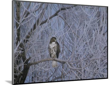Red-Tailed Hawk in Frosted Tree, Buteo Jamaicensis, Klamath Basin Nat Wildlife Refuge, California-Frans Lanting-Mounted Photographic Print