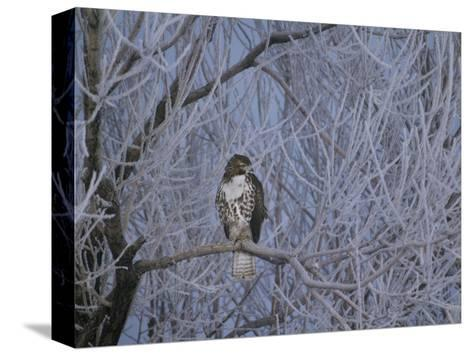 Red-Tailed Hawk in Frosted Tree, Buteo Jamaicensis, Klamath Basin Nat Wildlife Refuge, California-Frans Lanting-Stretched Canvas Print
