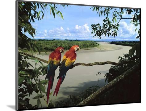 Scarlet Macaws Overlooking Tambopata River, Ara Macao, Tambopata National Reserve, Peru-Frans Lanting-Mounted Photographic Print