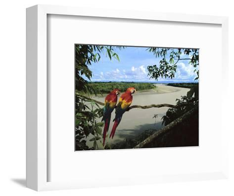 Scarlet Macaws Overlooking Tambopata River, Ara Macao, Tambopata National Reserve, Peru-Frans Lanting-Framed Art Print