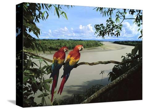 Scarlet Macaws Overlooking Tambopata River, Ara Macao, Tambopata National Reserve, Peru-Frans Lanting-Stretched Canvas Print