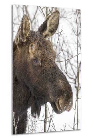 Close Up Portrait of a Moose, Alces Alces-Robbie George-Metal Print