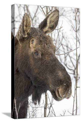 Close Up Portrait of a Moose, Alces Alces-Robbie George-Stretched Canvas Print
