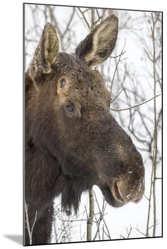 Close Up Portrait of a Moose, Alces Alces-Robbie George-Mounted Photographic Print