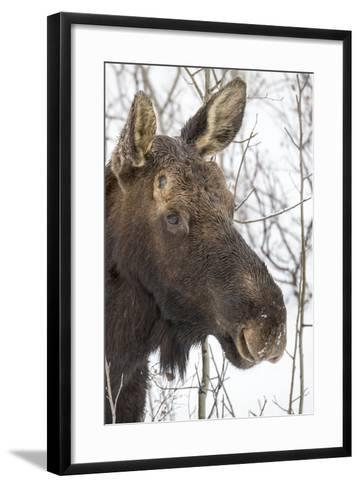 Close Up Portrait of a Moose, Alces Alces-Robbie George-Framed Art Print