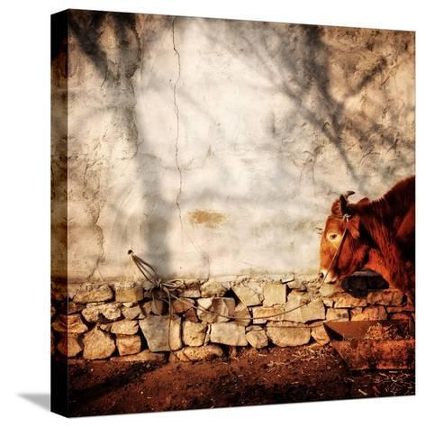 A Cow Tied Up Outside a Small Farmhouse in Rural China-Sean Gallagher-Stretched Canvas Print