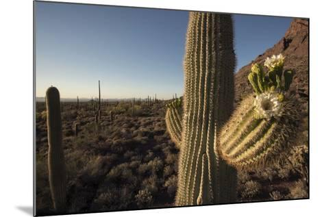 Saguaro Cacti in a Desert Landscape-Bill Hatcher-Mounted Photographic Print