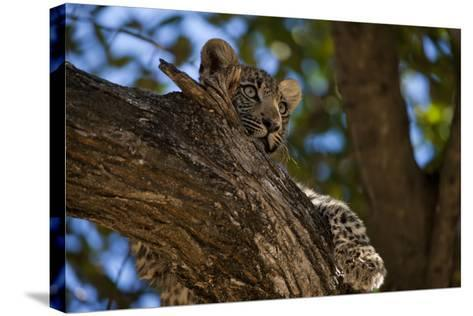 A Leopard Cub Resting in a Tree-Beverly Joubert-Stretched Canvas Print