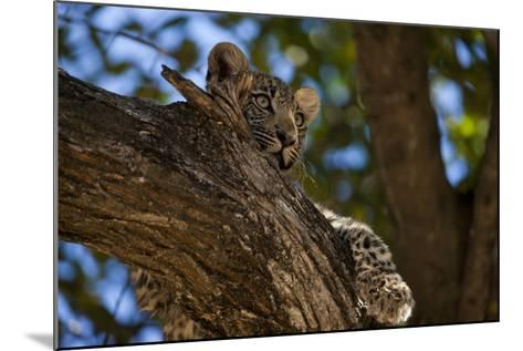 A Leopard Cub Resting in a Tree-Beverly Joubert-Mounted Photographic Print