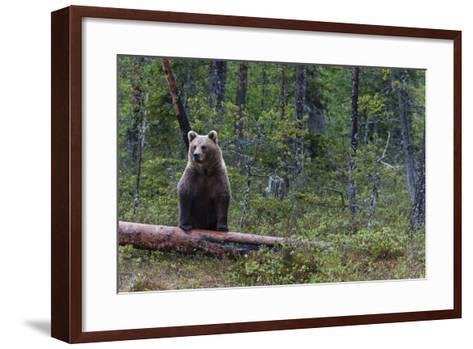 A European Brown Bear, Ursus Arctos Arctos, Standing on a Dead Log-Sergio Pitamitz-Framed Art Print