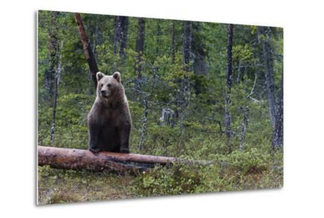 A European Brown Bear, Ursus Arctos Arctos, Standing on a Dead Log-Sergio Pitamitz-Metal Print
