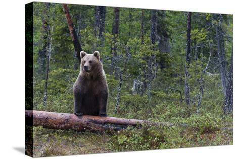 A European Brown Bear, Ursus Arctos Arctos, Standing on a Dead Log-Sergio Pitamitz-Stretched Canvas Print
