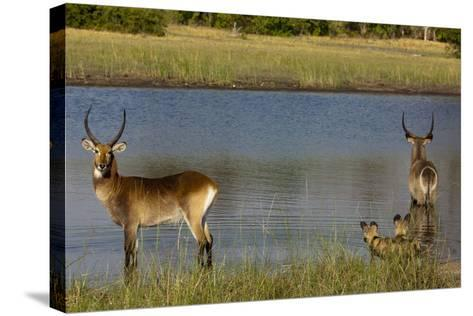 A Lechwe and a Waterbuck Standing in a Spillway as African Wild Dogs Watch Them from the Bank-Beverly Joubert-Stretched Canvas Print