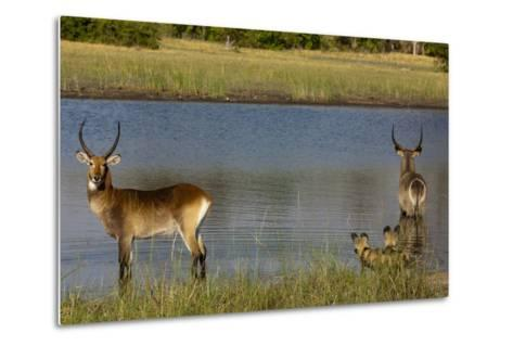 A Lechwe and a Waterbuck Standing in a Spillway as African Wild Dogs Watch Them from the Bank-Beverly Joubert-Metal Print