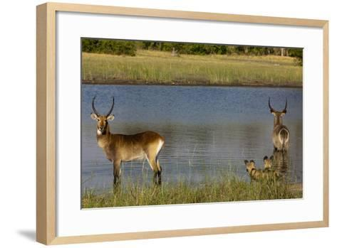 A Lechwe and a Waterbuck Standing in a Spillway as African Wild Dogs Watch Them from the Bank-Beverly Joubert-Framed Art Print