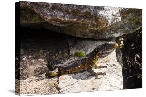A Black Girdled Lizard, Cordylus Niger, Suns Itself on a Rock at Table Mountain National Park-Jason Edwards-Stretched Canvas Print