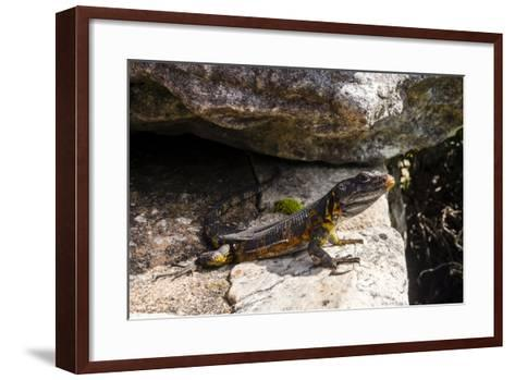 A Black Girdled Lizard, Cordylus Niger, Suns Itself on a Rock at Table Mountain National Park-Jason Edwards-Framed Art Print
