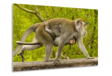 A Long-Tailed or Crab-Eating Macaque, Macaca Fascicularis, Carrying Her Baby on Her Chest-Ralph Lee Hopkins-Metal Print