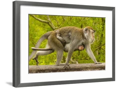 A Long-Tailed or Crab-Eating Macaque, Macaca Fascicularis, Carrying Her Baby on Her Chest-Ralph Lee Hopkins-Framed Art Print