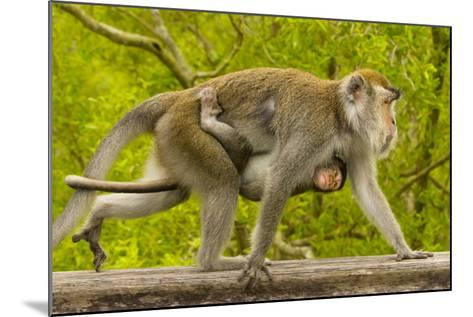 A Long-Tailed or Crab-Eating Macaque, Macaca Fascicularis, Carrying Her Baby on Her Chest-Ralph Lee Hopkins-Mounted Photographic Print
