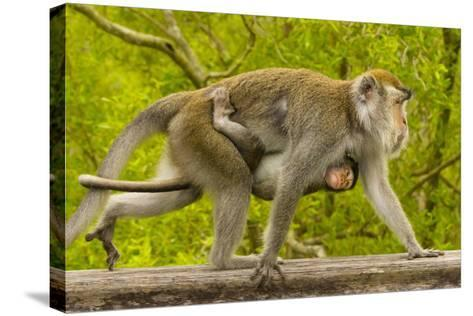 A Long-Tailed or Crab-Eating Macaque, Macaca Fascicularis, Carrying Her Baby on Her Chest-Ralph Lee Hopkins-Stretched Canvas Print