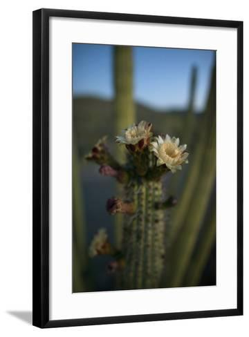 Close Up of an Organ Pipe Cactus Flower Opening. They Bloom Only at Night-Bill Hatcher-Framed Art Print