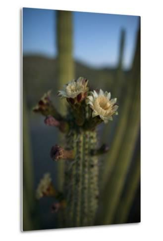 Close Up of an Organ Pipe Cactus Flower Opening. They Bloom Only at Night-Bill Hatcher-Metal Print