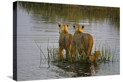 Two Lioness Crossing a Spillway with a Cub-Beverly Joubert-Stretched Canvas Print